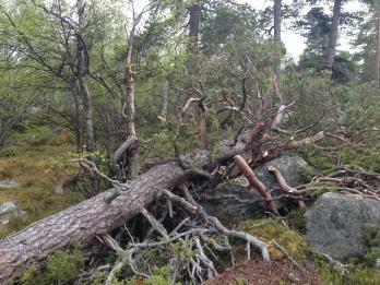 Gamle stolte trær må gi slipp en gang iblandt.